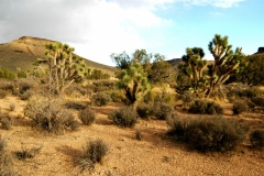 Joshua Trees on Gentle Slope